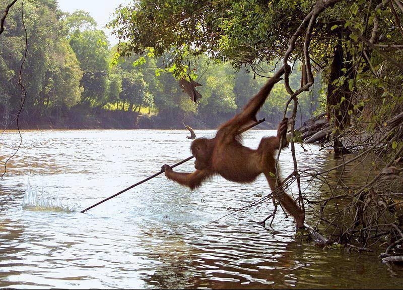 Un Orangutan a început să pescuiască