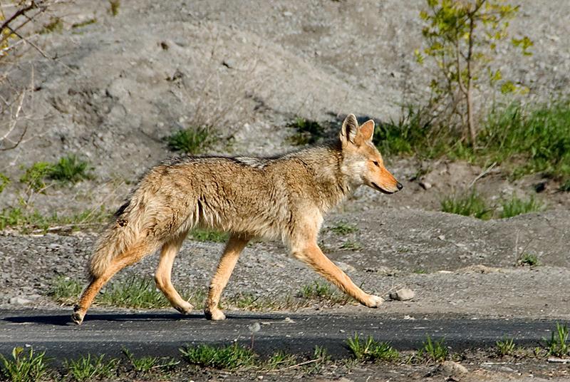 Un coiot trezeste o femeie la 4 dimineata