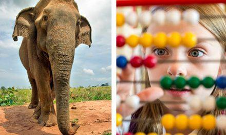 Elefantii inteleg matematica asa cum o fac si oamenii